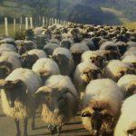 飼い慣らされた羊たち