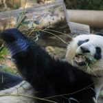 パンダのウンチは畳の匂い